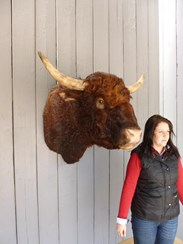 Antique Taxidermy Bulls Head