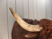 Image 4 - Antique Taxidermy Bulls Head