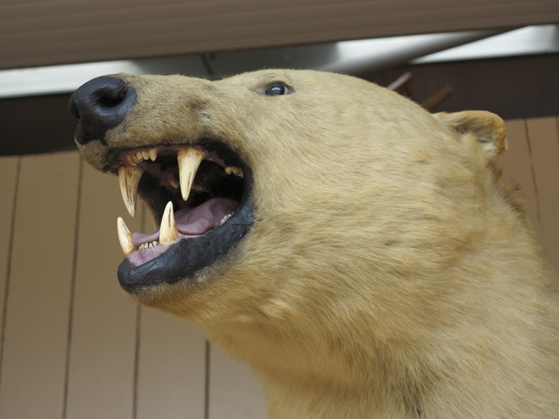 Original Antique Victorian Stuffed Taxidermy Polar Bear