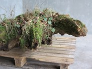 Old Garden Stump Reclaimed From A Stumpery