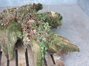 Tree Stump Reclaimed From Victorian Stumpery
