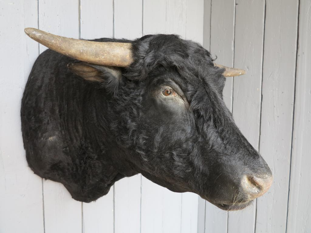 Original unusual rare taxidermy of a black bulls head which has been traditionally made by a taxidermist in the UK this item can be viewed in our showroom