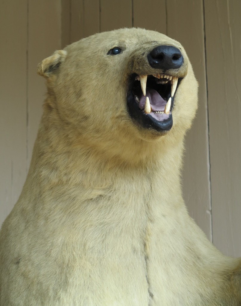 Victorian original taxidermy of a Ursus maritimus also known as a male polar bear which is free standing this is a genuine antique item which has been stuffed by a taxidermist